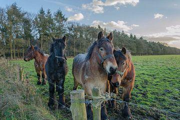 Pferde von Ans Bastiaanssen