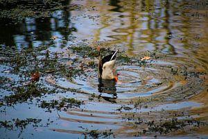 Diving Duck in Valkenberg Park von