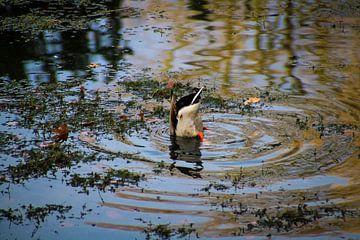 Diving Duck in Valkenberg Park van
