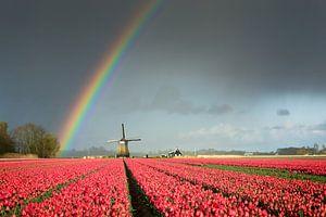 Regenboog boven een molen en een bollenveld met tulpen