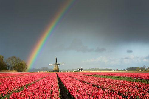 Regenboog boven een molen en een bollenveld met tulpen van