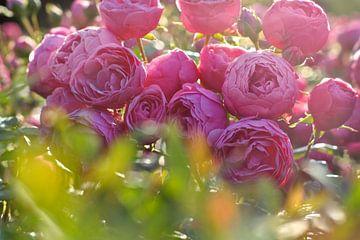 Roze rozen van Marianna Pobedimova