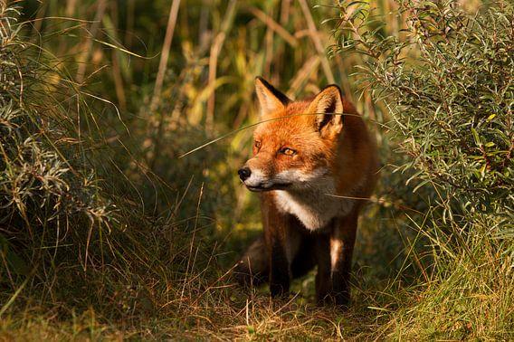Rode vos staat in het licht van de zonsondergang