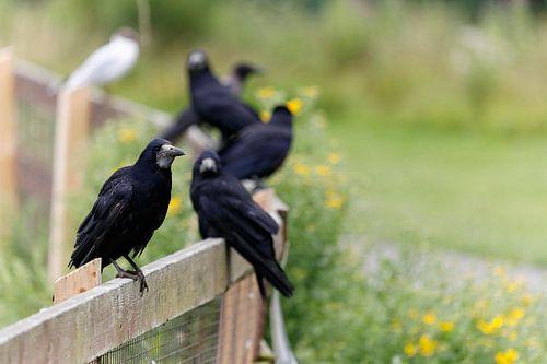 Portrait van zwarte raven die zij-aan-zij op een hek zitten