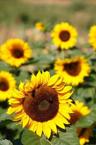 Sunflowers, (Helianthus annuus), Bremen, Germany, Europe