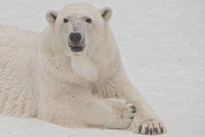 Die Schnauze eines weißen Eisbären aus nächster Nähe. Ein Eisbär auf Schnee ist ein mächtiges nordis