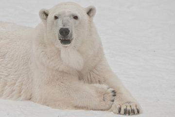 Gros plan sur le museau d'un ours polaire blanc. Un ours polaire sur la neige est un animal nordique sur Michael Semenov