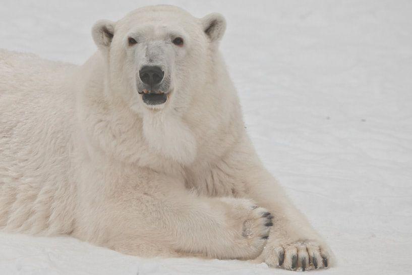 Die Schnauze eines weißen Eisbären aus nächster Nähe. Ein Eisbär auf Schnee ist ein mächtiges nordis von Michael Semenov