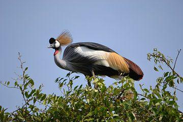 Grijze kroonkraanvogel van