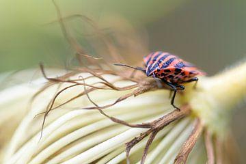 Gestreepte bug of Minstrel bug (Graphosoma lineatum) op de bloem van een wortel, macro shot, kopieer van Maren Winter
