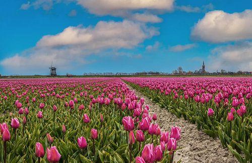 paars tulpenveld