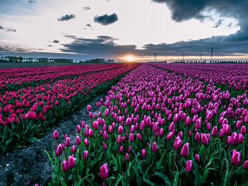 Tulpenvelden bij zonsopgang in biddinghuizen van Dennis van Berkel