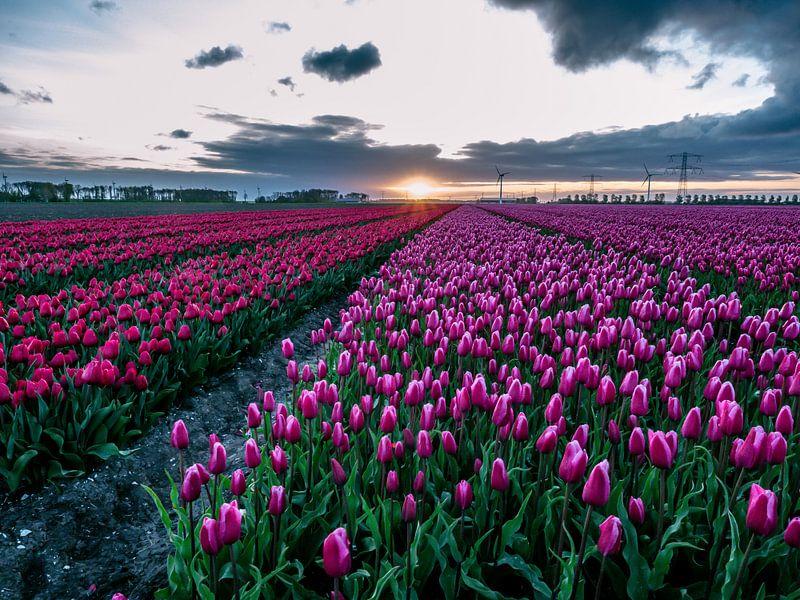 Tulpenvelden bij zonsopgang in biddinghuizen