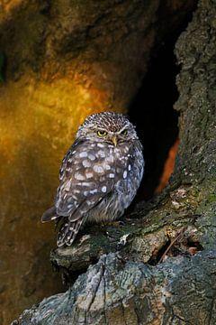 Little Owl / Minervas Owl ( Athene noctua ) perched in an old tree in wonderful morning light van