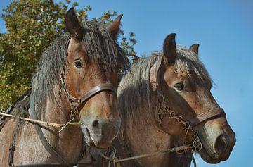 zwei Pferde von Dieter Beselt