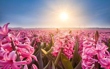 Hyazinthen auf den Birnenfeldern im Frühjahr von Remco Piet