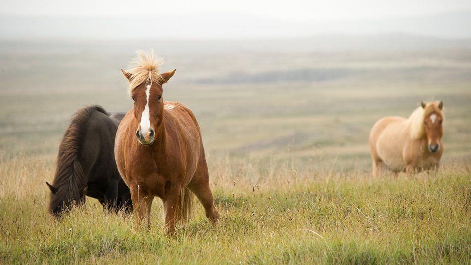 Ijslandse ponies