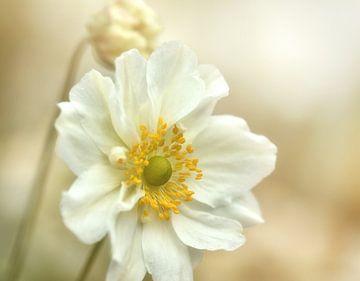 Weiße Blume im Sonnenlicht von Anam Nàdar