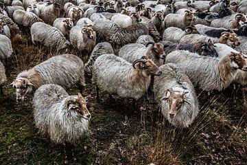 Schafe im Dwingelenderveld von Photobywim Willem Woudenberg