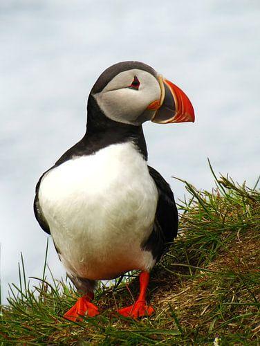 Papegaaiduiker aan de kust van IJsland