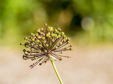 Allium van Diane van Veen