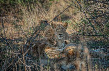 Jonge leeuw die door de takken gluren van Laura Sanchez