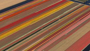 Luchtfoto bollenveld met prachtige felle kleuren van aerovista luchtfotografie