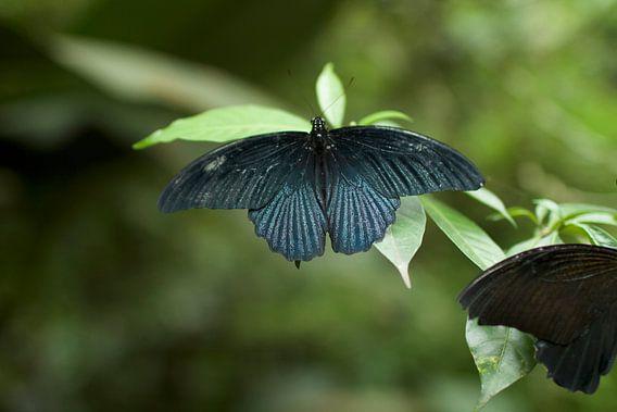 Vlinder van Jelle  Beuzekom