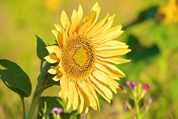 Sunflower van Reinhardt Dallgass
