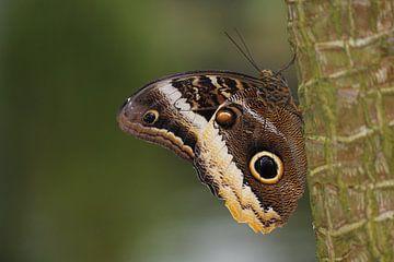 Morpho Menelaus vlinder van Frouwkje Fotografie