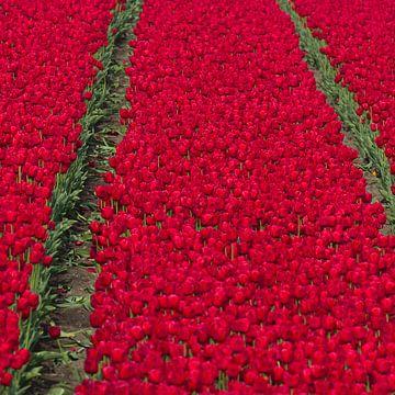 Rode Tulpen van Robert Kersbergen