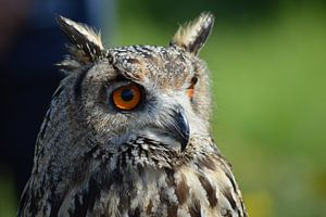 Siberische Oehoe / Siberian eagle owl van