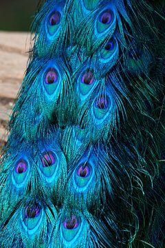 Pauwen staart wat een mooie kleuren van T. van der Kolk