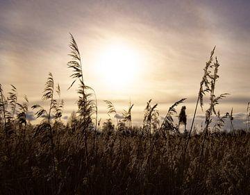 Zonsondergang achter het riet van Lynlabiephotography