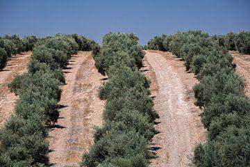 Olijfbomen van Martijn Smeets