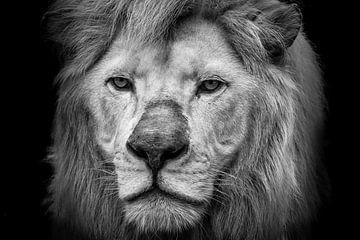 Alter Löwe von Kris Christiaens