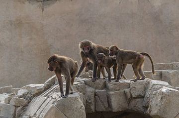 Affen überqueren eine Steinbrücke von Michel Swijgman