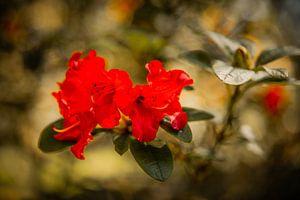 Rhododendren Mönchengladbach van Nicolas Lebeau