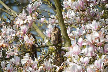Zon aanbiddende ransuilen in een magnolia van Susanne Pieren-Canisius