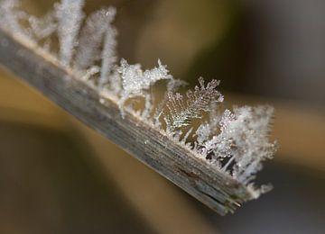 sneeuwvlokken op een rietstengel van Sandra Keereweer