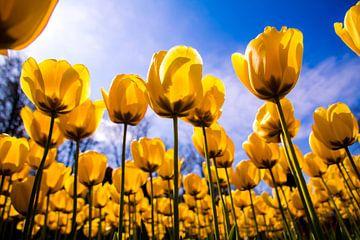 Ein Feld voller gelber Tulpen. von Stedom Fotografie