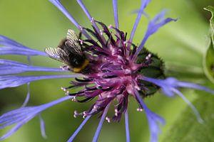 Cornflower with bumblebee