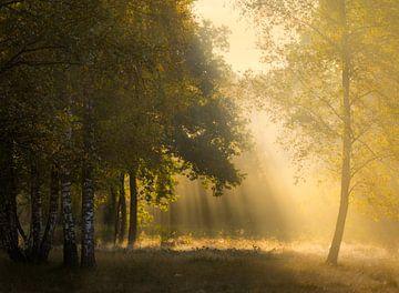Prachtig gouden licht in het bos van
