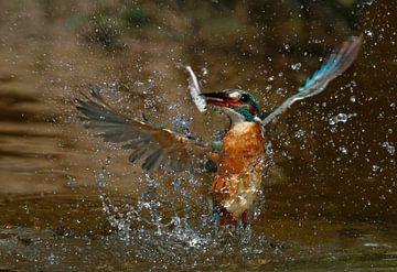 Ijsvogel duikt op von Gejo Wassink