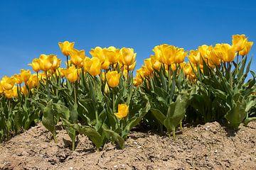Gele tulpen van Ad Jekel