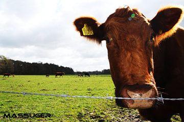 koe van jeroen massuger