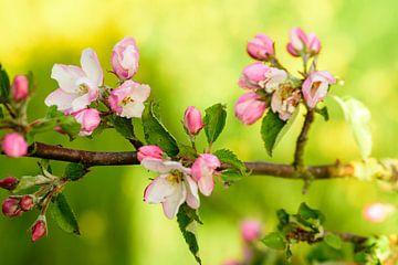 Appelbloesem van Arnoud van de Weerd