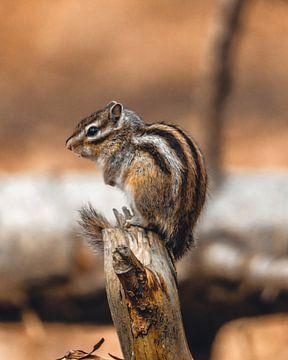 Eichhörnchen von Robbert Krol