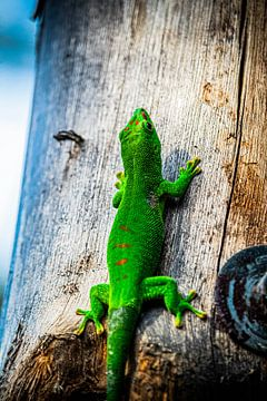 Madagaskar Gecko von Jaimy van Asperen
