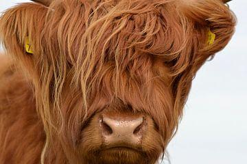 Kop kalf Schotse hooglander van Sascha van Dam